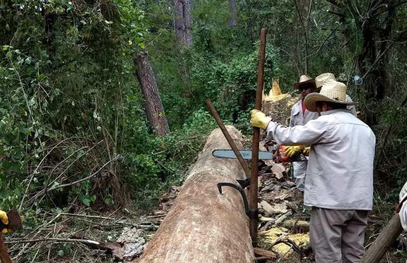 Control del descortezador en los bosques de la Universidad de la Sierra Juárez