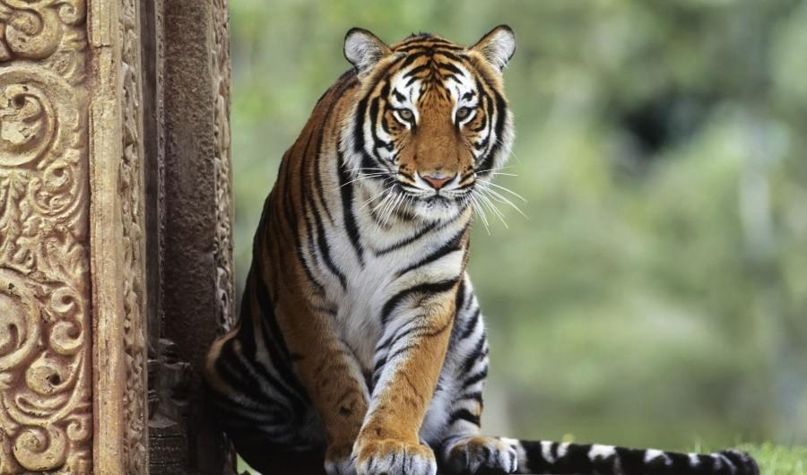 Incrementa población mundial de tigres gracias a Rusia y la India
