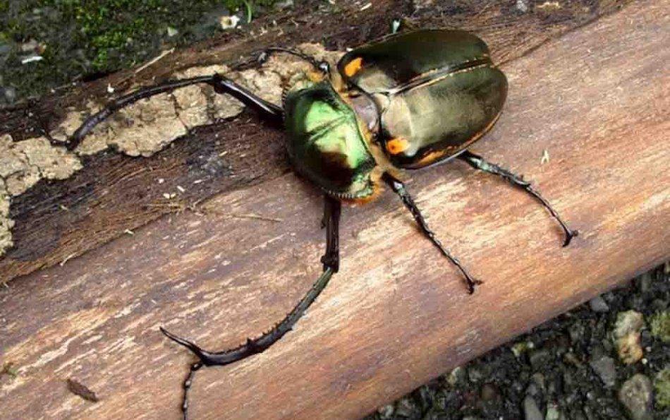 Encuentran misterioso escarabajo con tentáculos en China