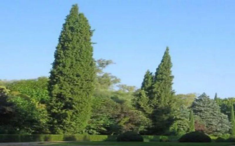 Reviven en China árbol de mil 300 años