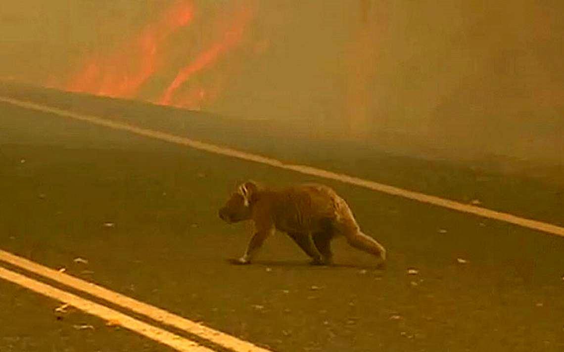 Incendios forestales en Australia destruyen 80% del hábitat de los koalas