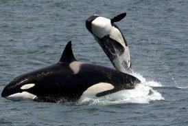 Las abuelas orcas viven más para ayudar a los nietos