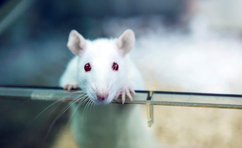 Ratones, la clave que podría revertir y prevenir obesidad en humanos
