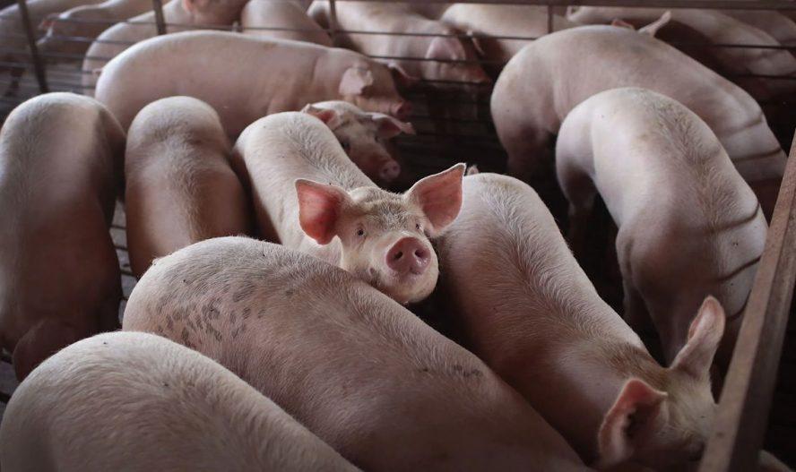 Alertan sobre nueva cepa de gripe porcina capaz de  contagiar a humanos y provocar nueva pandemia