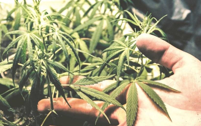 México aplicará impuesto especial a la mariguana, confirma Hacienda