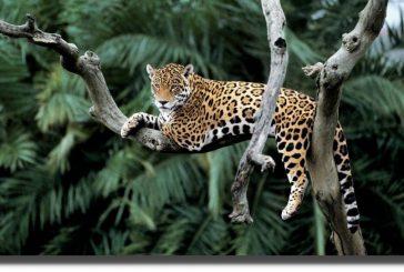 Buscan proteger al Rey Jaguar desde México hasta la Patagonia