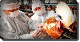 Rusia reporta primeros casos en humanos de gripe aviar H5N8