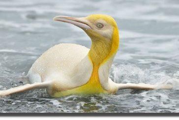 Captan extraño pingüino amarillo en isla del Atlántico Sur