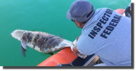 Sin recursos ni estrategia, Profepa enfrenta extinción de vaquita marina