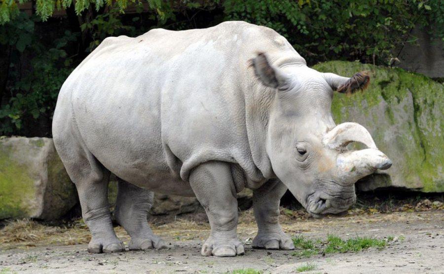 Podría haber esperanza de recuperar al rinoceronte blanco