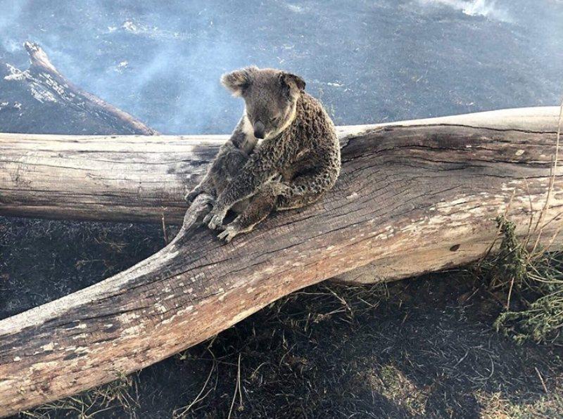 Mamá koala protege a su bebé del fuego en Australia