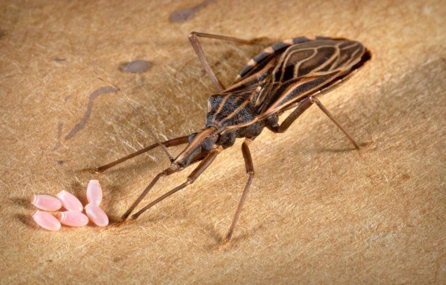 Chagas, la enfermedad de los pobres que afecta a miles de mexicanos