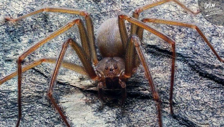 Descubren nueva especie de araña violinista, originaria del Valle de México