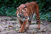Tigre de Malasia podría extinguirse en tres años