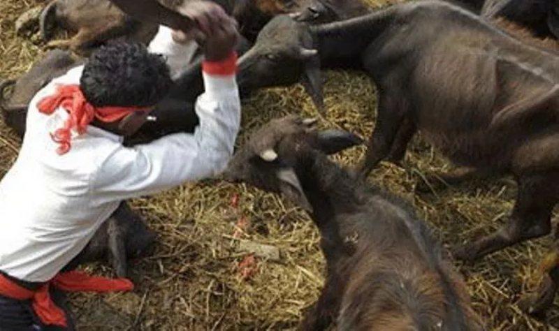 Nepal sacrifica seis mil búfalos para un ritual