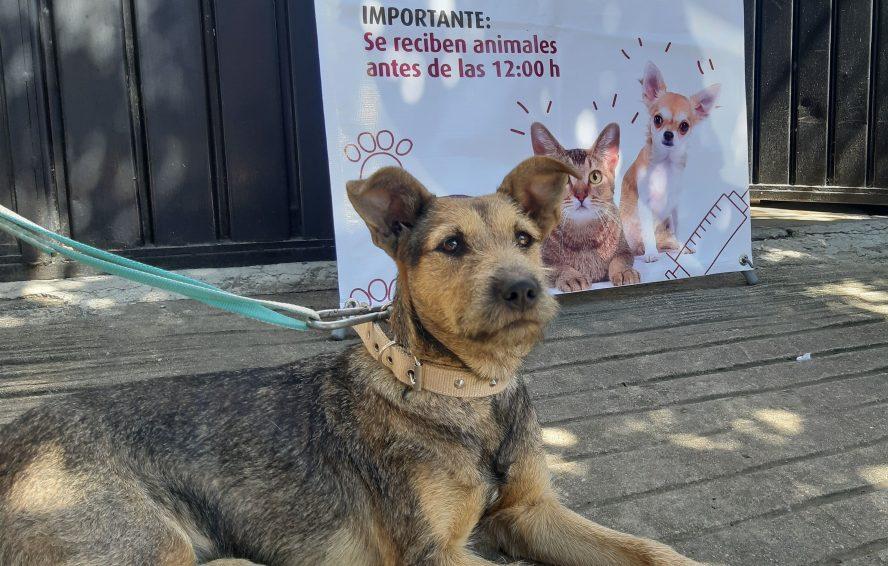 Acerca Ayuntamiento esterilización animal al Fraccionamiento Los Ríos