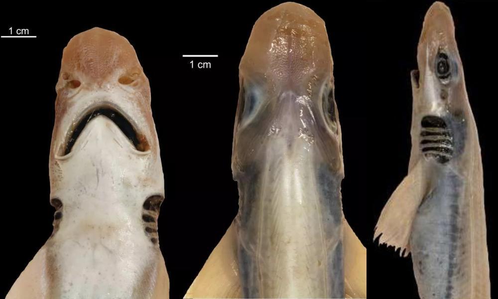 Hallan un tiburón sin piel y sin dientes nadando en el mar Mediterráneo